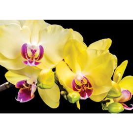 Fotobehang poster 1470 bloemen orchidee geel paars