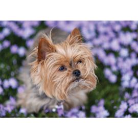 Fotobehang poster 4504 dieren hond yorkshire terrier bloemen