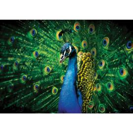 Fotobehang poster 2937 dieren pauw blauw
