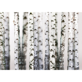 Fotobehang poster 2111 bomen bos berken zwart wit