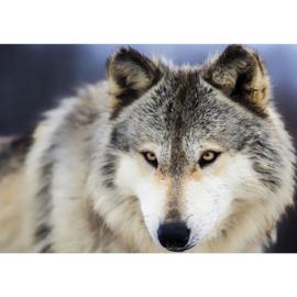 Fotobehang poster 2959 dieren roofdier wolf