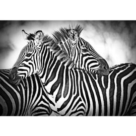 Fotobehang poster 3576 dieren zebra paard paarden zwart wit africa