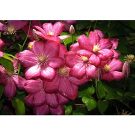 Fotobehang poster 2368 bloemen tropen roze