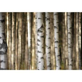 Fotobehang poster 2553 bomen berken bos