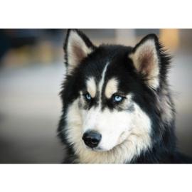 Fotobehang poster 1422 dieren hond husky zwart wit blauwe ogen