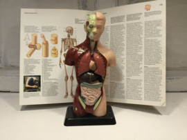 Anatomische torso