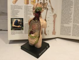 Anatomische torso Ein-o-science