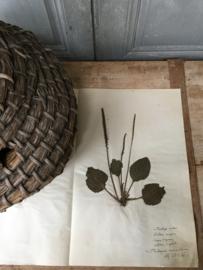 OV20110624 Oude Franse botanisch bloem Plantago media (=weegbree) gesigneerd juli 1930 in prachtige staat! Afmeting: 40 cm. lang / 26 cm. breed