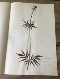OV20110612 Unieke oude Franse botanisch bloem - Valeriana Sambucifolia (Valeriaan) - gesigneerd juni 1930 in prachtige staat! Afmeting: 40 cm. lang / 26 cm. breed