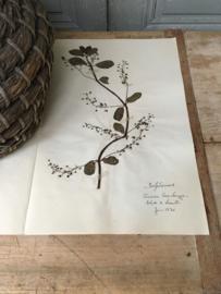 OV20110623 Oude Franse botanische bloem - Veronica beccabunga -  (= beekpurge) gesigneerd Juni 1930 in prachtige staat! Afmeting: 40 cm. lang / 26 cm. breed