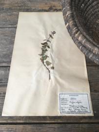OV20110641 Oude Franse botanische bloem/kruid - Origanum Vulgare - (= wilde marjolein) periode: 1942 in prachtige staat! Afmeting: 28 cm. breed / 45 cm. hoog.