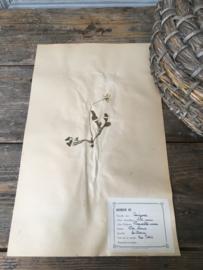 OV20110648 Oude Franse botanisch bloem - Bellis Perennis - (= madeliefje) periode: 1942 in prachtige staat! Afmeting: 28 cm breed / 45 cm. hoog.