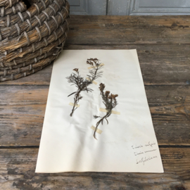 OV20110628 Oude Franse botanische bloem - Linaria Vulgaris (=vlasleeuwenbek) periode: 1930 in prachtige staat! Afmeting: 26 cm. cm. breed / 40 cm. hoog.