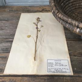 OV20110642 Oude Franse botanische bloem - Malva Rotundifolia - (= ned. naam: kaasjeskruid) periode: 1942 in prachtige staat! Afmeting: 28 cm. breed / 45 cm. hoog.