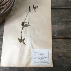 OV20110639 Oude Franse botanische bloem - Brunella Vulgaris (= gewone brunel)  periode: 1942 in prachtige staat! Afmeting: 28 cm. breed / 45 cm. hoog.