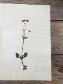 OV20110618 Oude  Franse botanische bloem - Valériana dioica - (= Kleine valeriaan) Gesigneerd: 1930. In prachtige staat! Afmeting: 26 cm. breed . 40 cm. hoog.