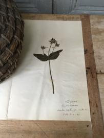 OV20110621 Oude Franse botanisch bloem - Knautia arvensis - (= beemdkroon) gesigneerd: 1930  in prachtige staat. Afmeting: 40 cm. lang / 26 cm breed