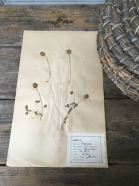 OV20110647 Oude Franse botanisch bloem - Trifolium Fragiferum - (= aardbeiklaver) periode: 1942 in prachtige staat! Afmeting: 28 cm. breed / 45 cm. hoog.
