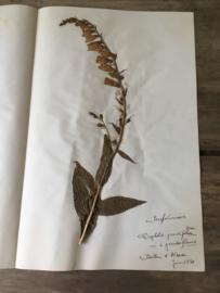 OV20110611 Unieke oude Franse botanische bloem - Digitalis grandiflora - (vingerhoedskruid) gesigneerd: juni 1930 in prachtige staat! / Afmeting: 40 lang / 26 cm. breed