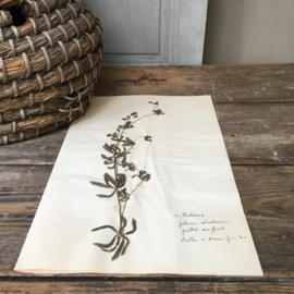 OV20110634 Oude Frans botanisch bloem - Galium Silvaticum - (boswalstro) periode: 1930 in prachtige staat! Afmeting: 26 cm. breed / 40 cm. hoog