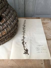 OV20110620 Oude Franse botanisch wilde bloem - Serofularia canina - (= hondhelmskruid) gesigneerd: 1930 in prachtige staat! Afmeting: 40 cm. lang / 26 cm. breed