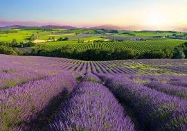 Lavendel veld nr43
