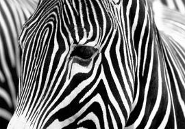Zebra nr100