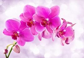 Roze Orchidee nr65