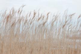 Swaying Reed