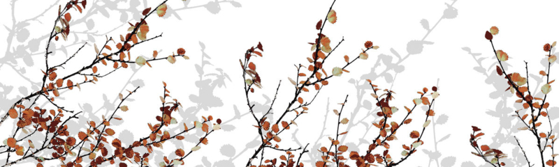 Mountain Birch (2 colors)