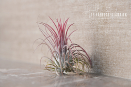 Airplant roze rood