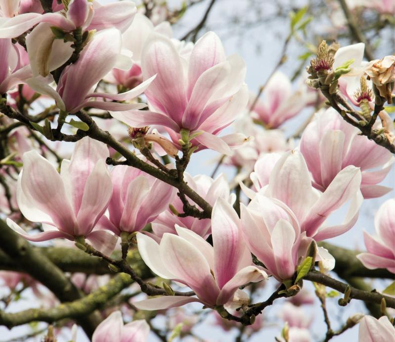 Huisparfum magnolia