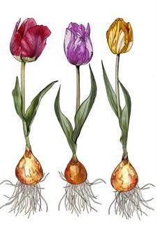 Tulips / Tulpen - A6