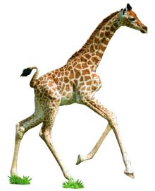 I AM giraf 100 stuks