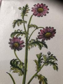 Schilderij | Bloemen | Botanische prent 'Grysantemum Greticum'