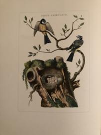 PARUS CAERULEUS | Reproducties van  Vogelprent Nederlandsche vogelen Sepp en Nozeman 1770-1829