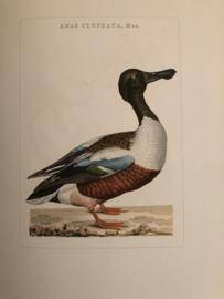 ANAS CLYPEATA, Mas | Reproducties van  Vogelprent Nederlandsche vogelen Sepp en Nozeman 1770-1829