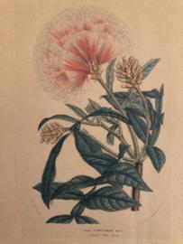 1996 | Botanische prent INGA FERRUGINEA Hort behorend bij NOVEAU, april 1996