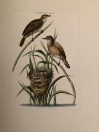 TURDUS, juneo | Reproducties van  Vogelprent Nederlandsche vogelen Sepp en Nozeman 1770-1829
