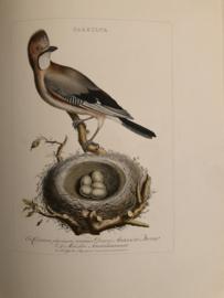 GARRULUS | Reproducties van  Vogelprent Nederlandsche vogelen Sepp en Nozeman 1770-1829