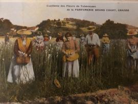 1910 | Briefkaarten | Frankrijk | Cueillette des Fleurs de Tubereuses de la Parfumerie Bruno Court, Grasse