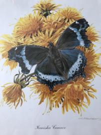 Schilderij | Insecten | Botanische ingelijste prent van vlinder 'Kaniska Canace' ofwel Blauwe admiraal - C. Brends