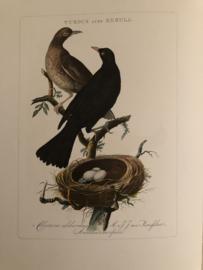TURDUS ater MERULA | Reproducties van  Vogelprent Nederlandsche vogelen Sepp en Nozeman 1770-1829