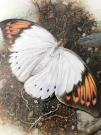 Schilderij | Insecten | Botanische ingelijste prent van vlinder 'Hebomoia Glaucippe' - C. Brends