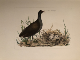FULICA, chloropus | Reproducties van  Vogelprent Nederlandsche vogelen Sepp en Nozeman 1770-1829
