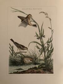ALAUDA, Trivialis | Reproducties van  Vogelprent Nederlandsche vogelen Sepp en Nozeman 1770-1829