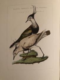 TRINGA, VANNELUS GAVIA VULGARIS (Varius Alba) | Reproducties van  Vogelprent Nederlandsche vogelen Sepp en Nozeman 1770-1829