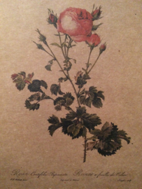Briefkaarten | Ansichtkaarten & prenten, schilderijtjes Redouté Rozen