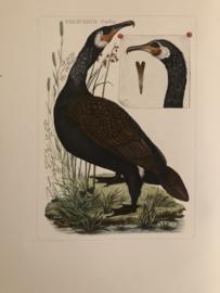 PELECANUS Carbo | Reproducties van  Vogelprent Nederlandsche vogelen Sepp en Nozeman 1770-1829