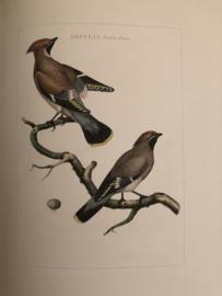 AMPELIS, Garrulus | Reproducties van  Vogelprent Nederlandsche vogelen Sepp en Nozeman 1770-1829